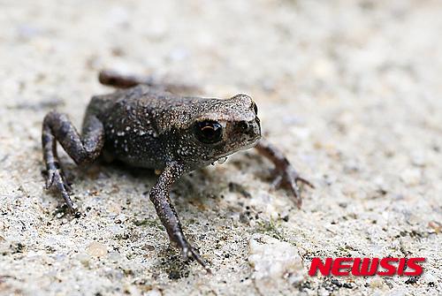 두꺼비 황소개구리 50대 남성 사망 (해당 사진은 기사 내용과 무관함)